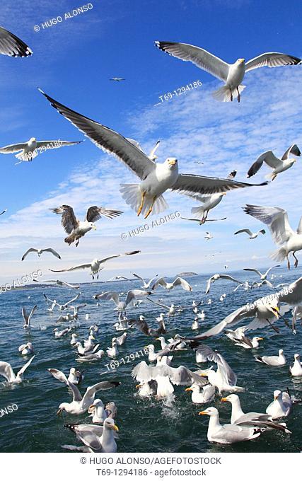 European Herring Gull (Larus argentatus) feeding, Scotland