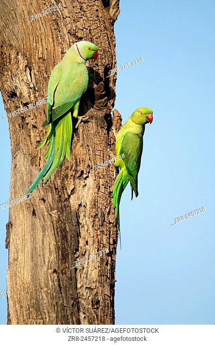 Rose-ringed parakeets (Psittacula krameri). Pair. Keoladeo Ghana National Park. Rajasthan. India