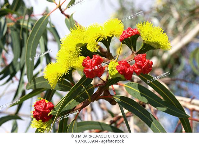 Red-capped gum (Eucalyptus erythrocoris) is a small tree endemic to southwestern Australia. Flowers and leaves detail