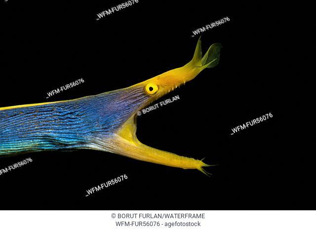 Blue Ribbon Moray Eel, Rhinomuraena quaesita, Pantar, Alor Archipelago, Lesser Sunda Islands, Indonesia