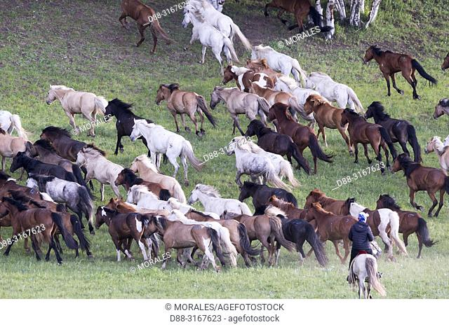 China, Inner Mongolia, Hebei Province, Zhangjiakou, Bashang Grassland, Mongolian horsemen lead a troop of horses running in a group in the meadow