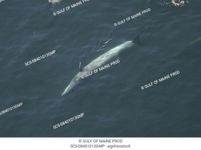 Aerial view of Sei whale Balaenoptera borealis surfacing Gulf of Maine, USA rr