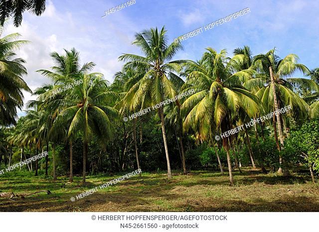 PalmTrees, Alejandro de Humboldt National Park, Guantanamo Province, Cuba