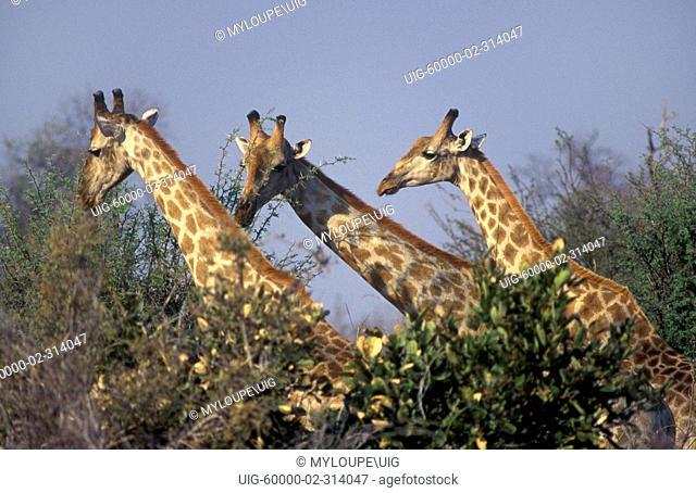 The SOUTHERN GIRAFFE Giraffa Camelopardalis has lighter spots than its northern relative - SAVUTI MARSH