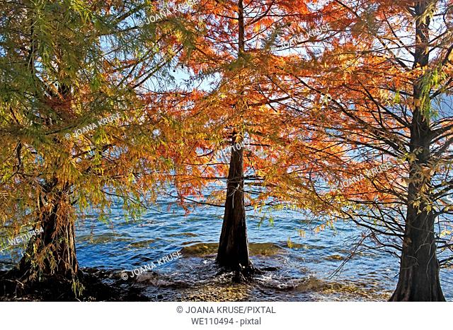 those autumn trees are at the Lake Maggiore in Locarno