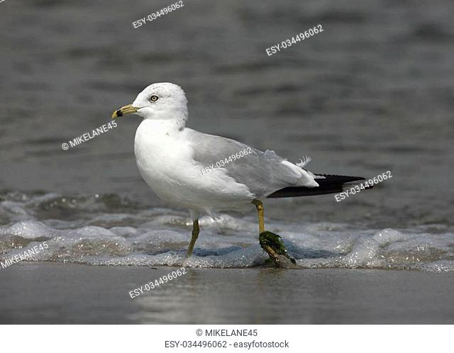 Ring-billed gull, Larus delawarensis, single bird standing in water, New York, USA , summer