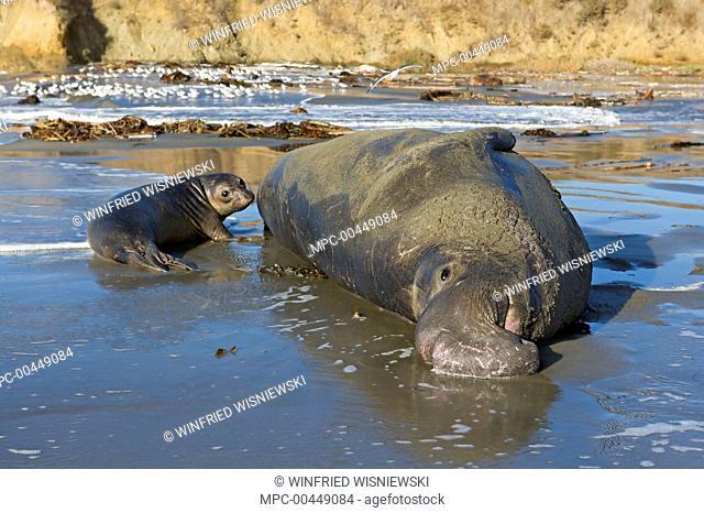 Northern Elephant Seal (Mirounga angustirostris) bull and pup on beach, San Simeon, California