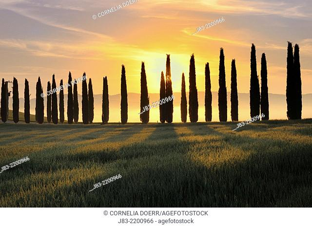 Fields with row of cypress at sunrise, Val d'Orcia, Orcia Valley, Tuscany Landscape, UNESCO world heritage site, Pienza, Siena Province, Tuscany, Italy
