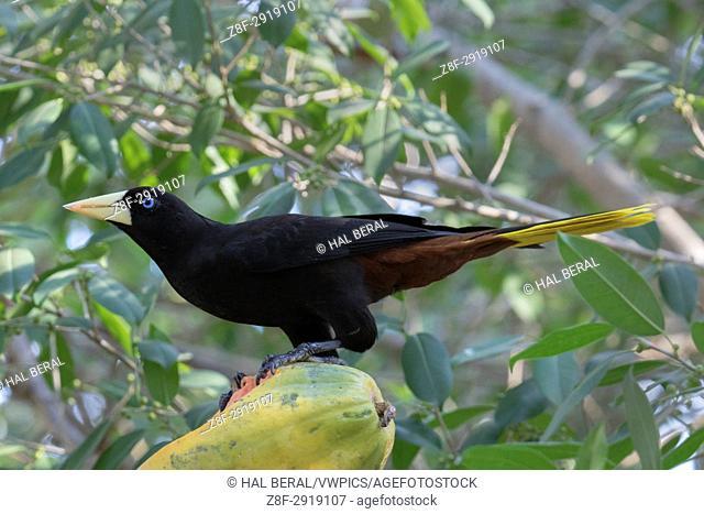 Crested Oropendola eating fruit (Psarocolius decumanus) Pantanal, Brazil