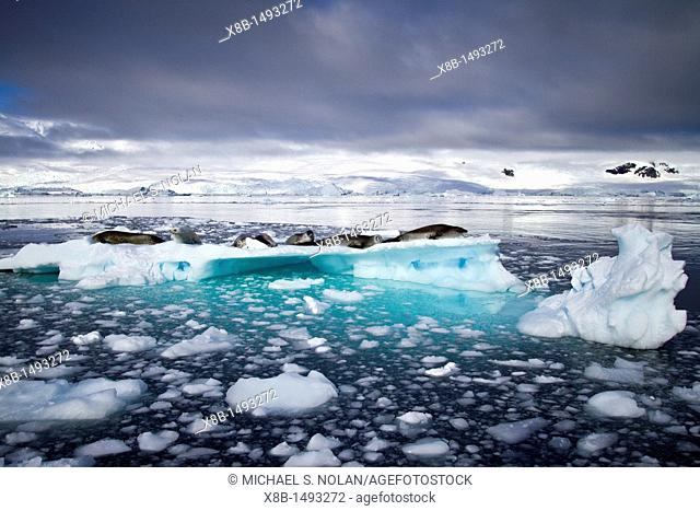 Crabeater seals Lobodon carcinophaga hauled out on ice floe in Neko Harbor near the Antarctic Peninsula  MORE INFO Crabeater seals often exhibit spiral scarring...