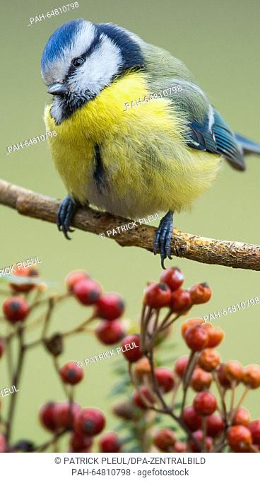 A blue tit bird pictured in a garden in Sieversdorf, Germany, 05 January 2016. The sixth nationwide 'Hour of the winter birds' bird census will be held from 08...