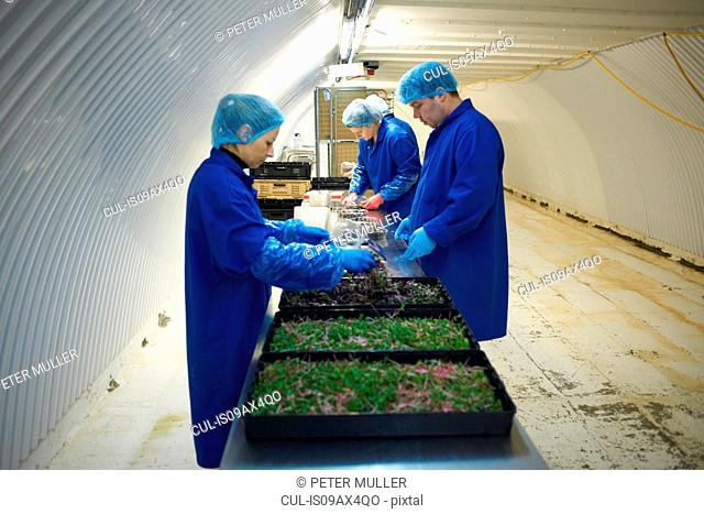Side view of workers wearing overalls and hair nets working on production line, packaging vegetables