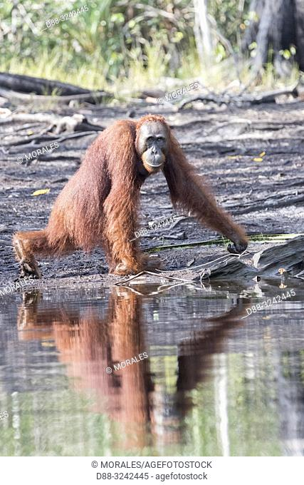 Asia, Indonesia, Borneo, Tanjung Puting National Park, Bornean orangutan (Pongo pygmaeus pygmaeus), near by the water of Sekonyer river