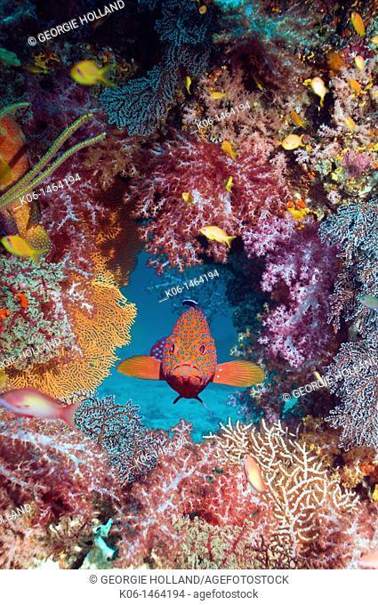 Coral hind Cephalopholus miniata with soft corals  Andaman Sea, Thailand