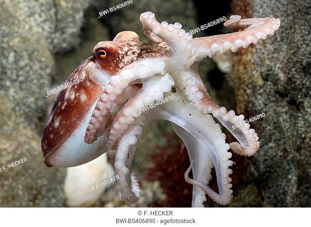 Curled octopus, lesser octopus, horned octopus (Eledone cirrhosa, Ozeana cirrosa), swimming