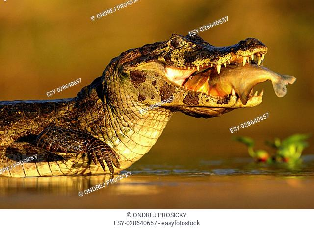 Yacare Caiman, crocodile with fish in with evening sun, Pantanal