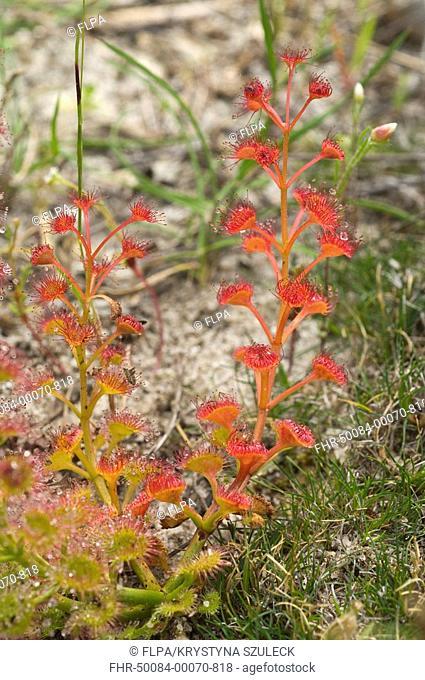 Pink Rainbow Sundew Drosera menziesii leaves, Wambyn, near York, Western Australia, september