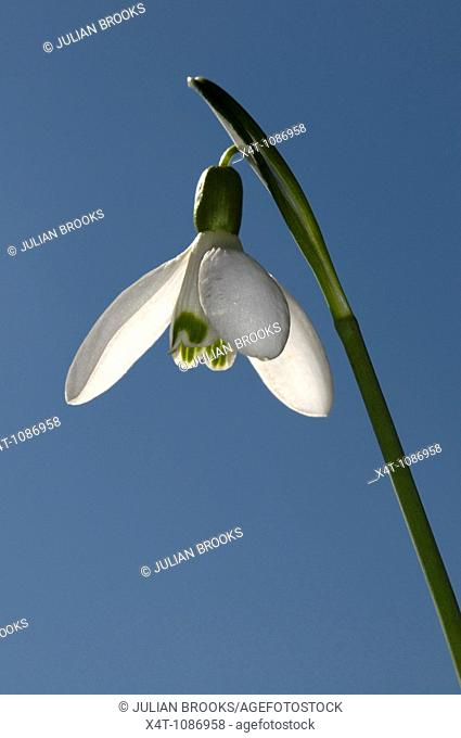 A single snowdrop Galanthus nivalis against a blue spring sky, backlit
