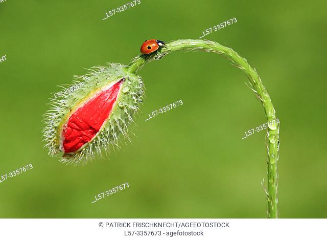 ladybird, Coccinellidae, on poppy, Switzerland