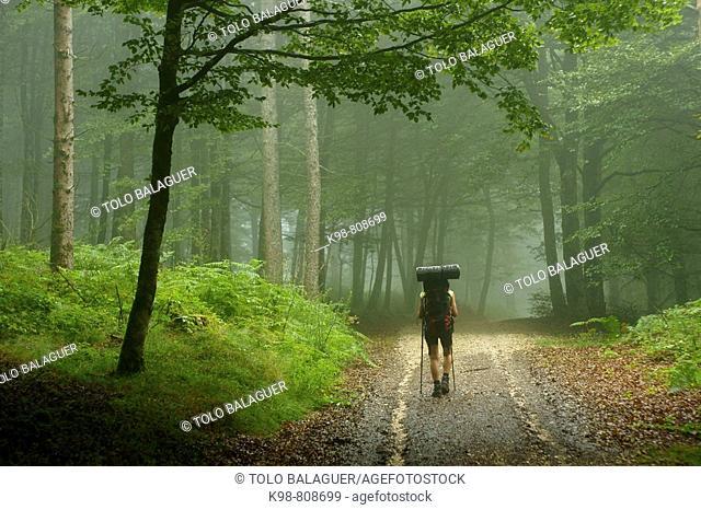 Hiker in beechwood, Urquiaga pass, Baztan valley, Navarra, Spain