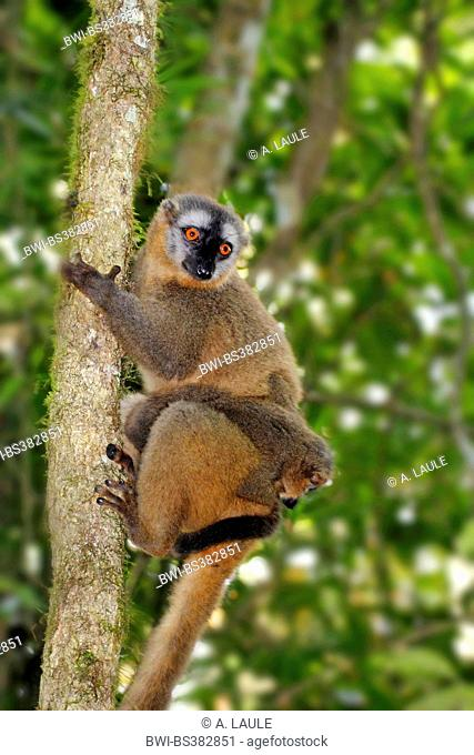 Red-fronted lemur. Red-fronted brown lemur, Southern red-fronted brown lemur (Eulemur rufifrons), mother and pup, Madagascar, Ranomafana National Park