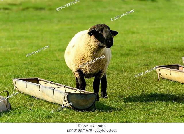 Romney Marsh sheep 02