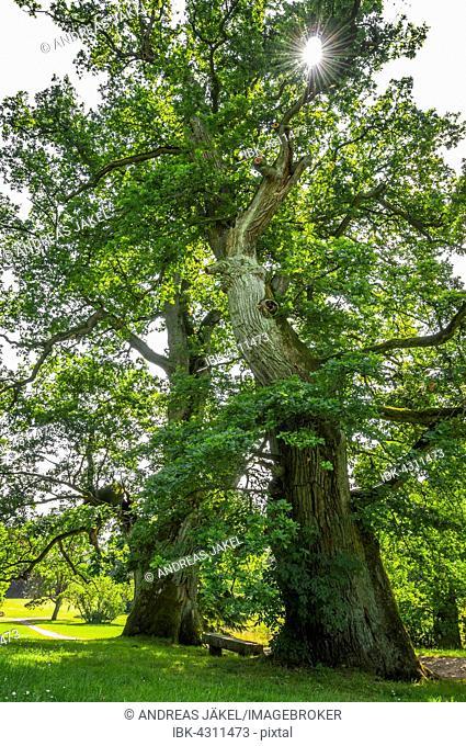 Old oak trees (Quercus robur), Putbus palace garden, Rügen, Mecklenburg Vorpommern, Germany