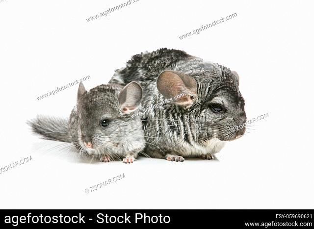 Chinchilla mother with baby sitting isolated over white background. Copy space