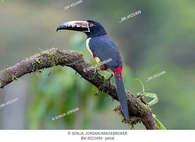 Collared aracari (Pteroglossus torquatus) sitting on branch, Costa Rica