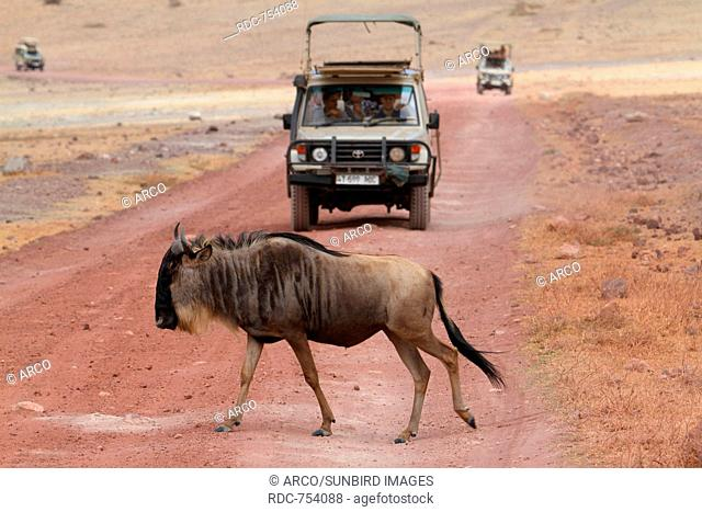 Blue Wildebeest crossing road, Ngorongoro crater, Tanzania