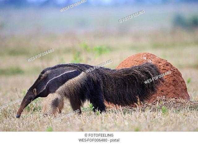 Brazil, Mato Grosso, Mato Grosso do Sul, Pantanal, giant anteater (Myrmecophaga tridactyla) and termite hill
