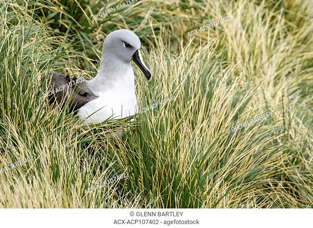 Gray-headed Albatross (Thalassarche chrysostoma) perched on tussock grass on South Georgia Island