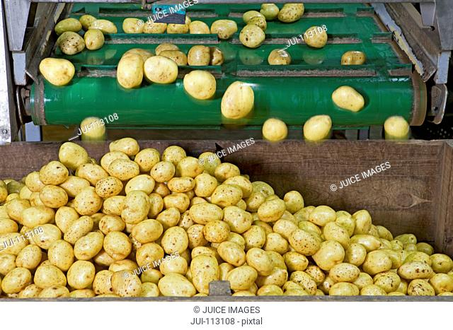 Potatoes falling from conveyor belt into bin