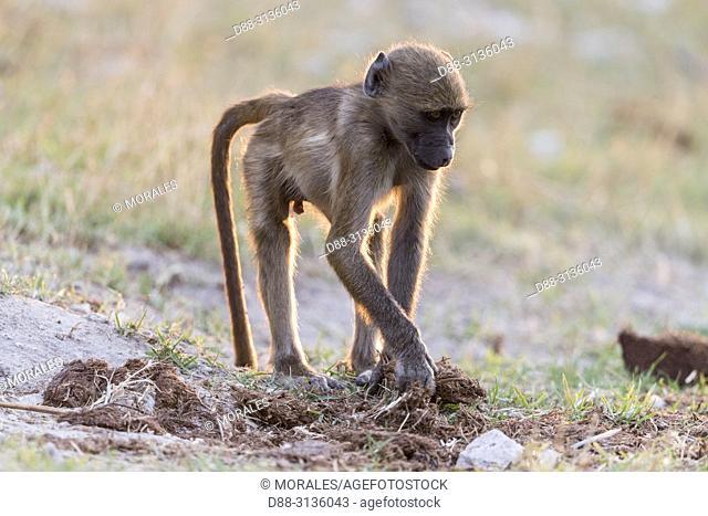 Africa, Southern Africa, Bostwana, Chobe i National Park, Chobe river, Chacma Baboon (Papio ursinus), young