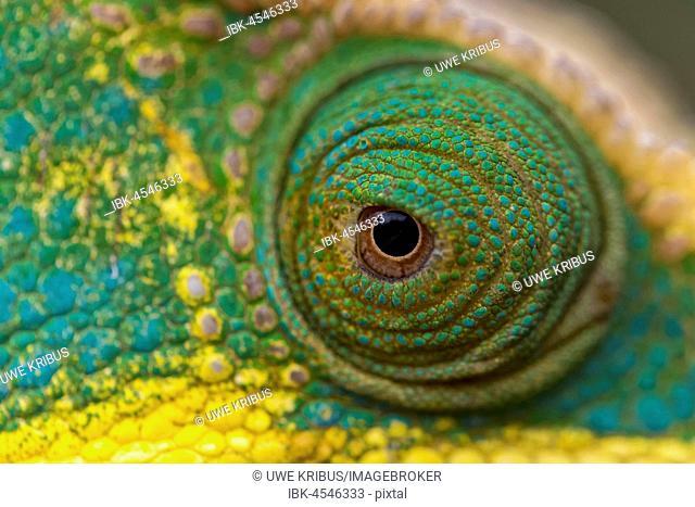 Parsons Chameleon (Calumma parsonii), eye, detail, National Park Ranomafana, Madagascar