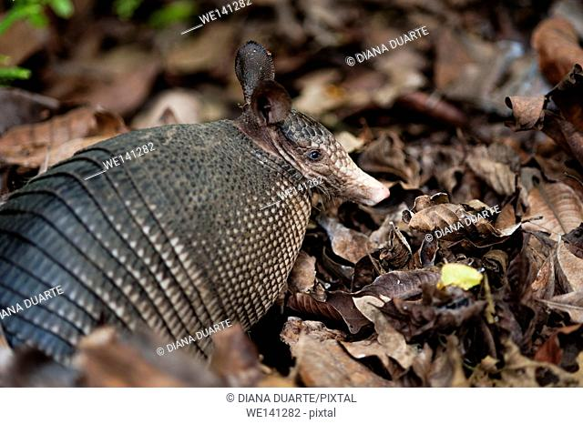 """""""""""Nine-banded armadillo"""" (Dasypus novemcinctus), Armadillos live in different temperate and warm habitats, including rain forests, cloud forest, grasslands"