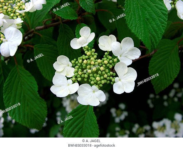 doublefile viburnum (Viburnum plicatum), inflorescence
