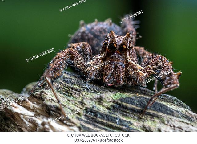 Jumping spider. Image taken at Kampung Skudup, Kuching, Sarawak, Malaysia