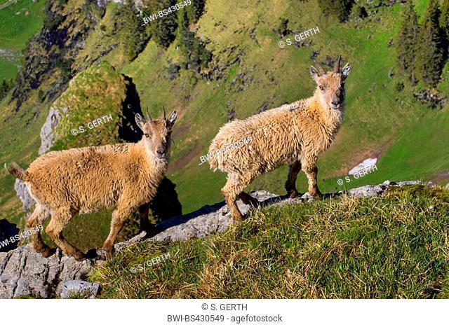 Alpine ibex (Capra ibex, Capra ibex ibex), two young ibexes in winter fur standing on a rock ledge, side view, Switzerland, Toggenburg, Chaeserrugg