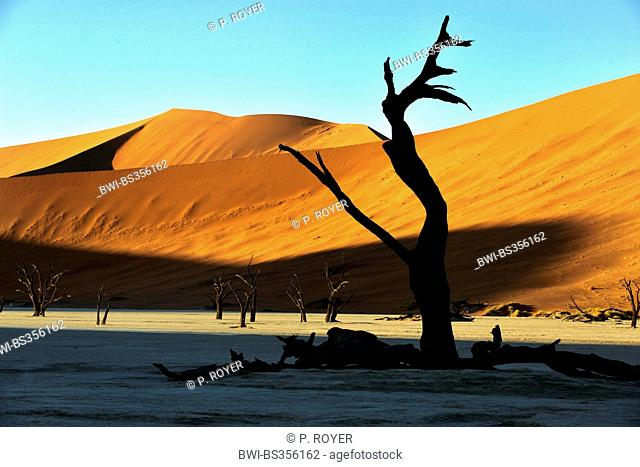 camel thorn, giraffe thorn (Acacia erioloba), the dead trees valley in the desert of Sossusvlei, Namibia, Namib Naukluft National Park