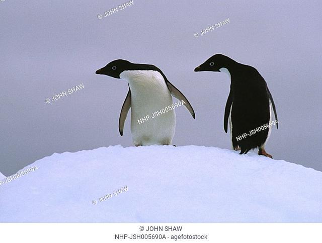 ADELIE PENGUIN Pygoscelis adeliae two on iceberg Antarctica