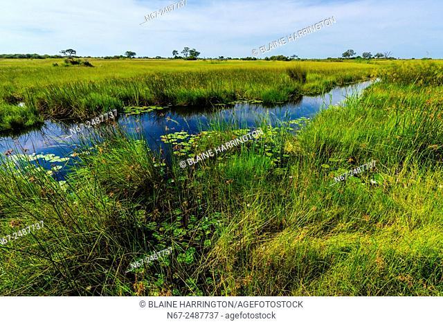 Water lilies, Lebala Camp, Kwando Concession, Linyanti Marshes, Botswana