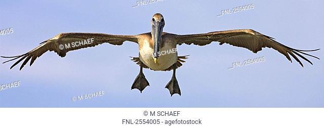 Close-up of Brown Pelican Pelecanus occidentalis in flight