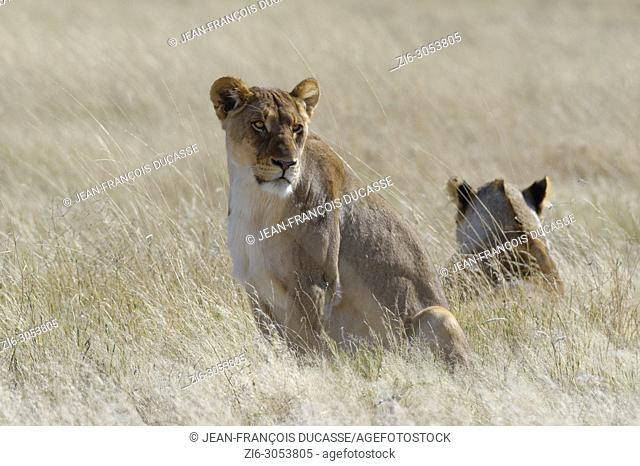 Lionesses (Panthera leo) in the dry grass, alert, Etosha National Park, Namibia, Africa