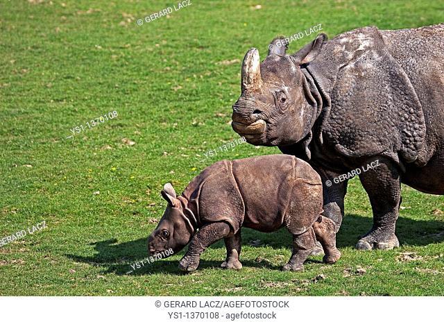 INDIAN RHINOCEROS rhinoceros unicornis, MOTHER WITH CALF