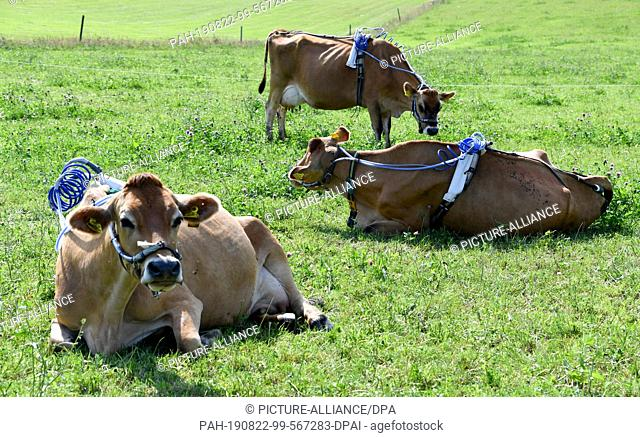 22 August 2019, Schleswig-Holstein, Noer: Cows lie and stand on a pasture of the Lindhof sample with measuring instruments on their backs