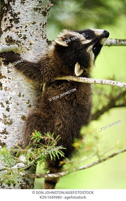 Raccoon Procyon lotor baby- CS