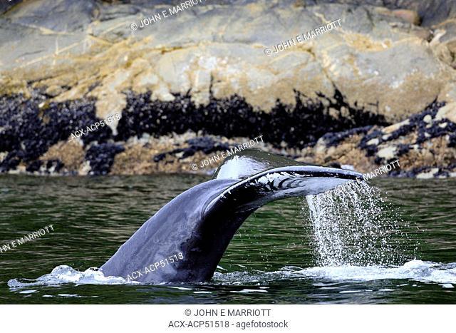 Humpback whale Megaptera novaeangliae in Northern British Columbia, Canada