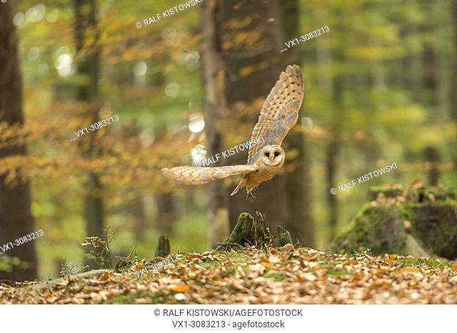 Barn Owl (Tyto alba) taking off, in flight, natural broadleaved forest, autumn colors, golden October, Europe