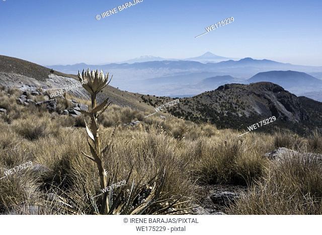 Dry flower at Nevado de Toluca